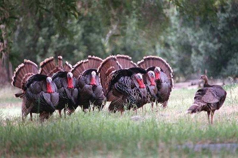 rafter-wild-turkey